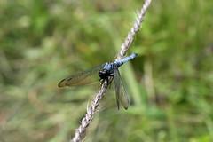 瀬上市民の森のオオシオカラトンボ(Dragonfly, Segami Community Woods)