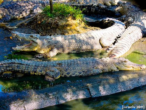 Big Crocs by israelv