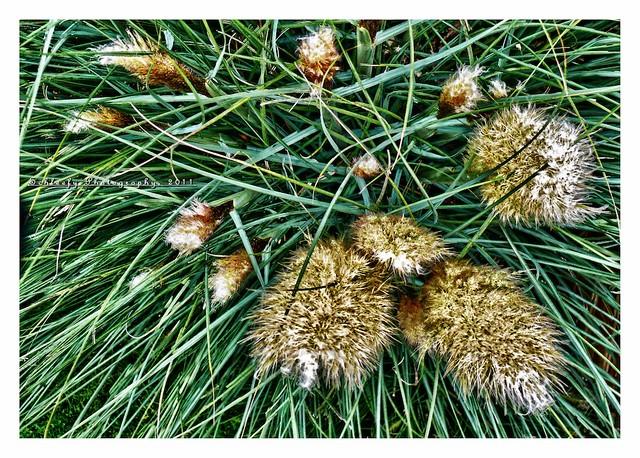 #242/365 Switchgrass