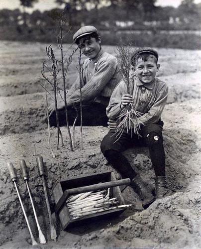 Jongens bezig met het steken van asperges / Boys harvesting asparagus