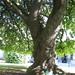 Irene lee a la sombra de un árbol