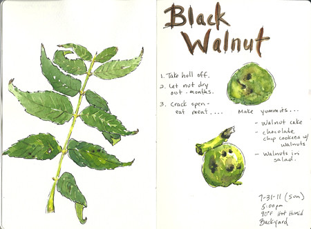 20110731_black_walnut_sketch