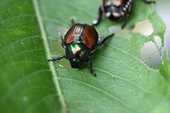 新治市民の森のマメコガネ(Beetle, Niiharu Community Woods, Yokohama, Japan)