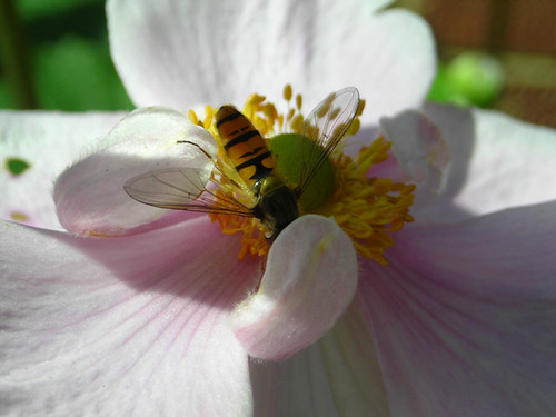 Hoverfly 01