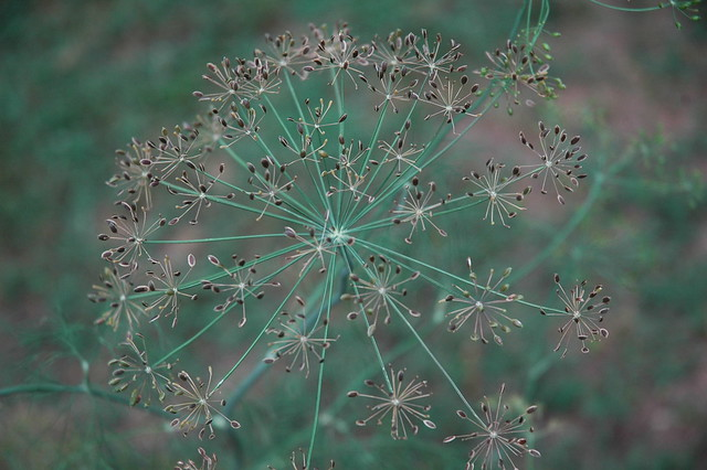 dill seed