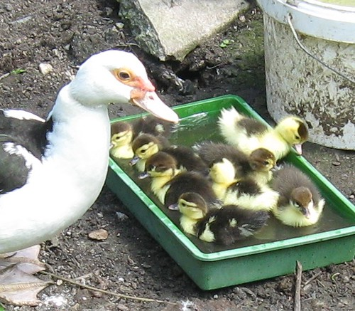 a box of ducklings