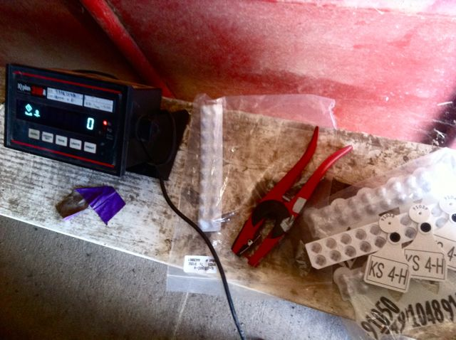 calf tagging - 12