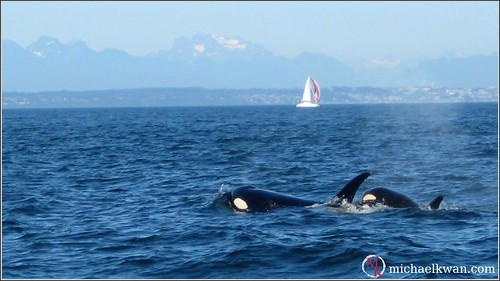 Whale Watching in Steveston (4 of 9)