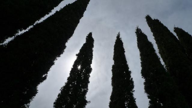 Italian Pine Trees
