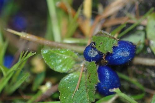 They look like berries