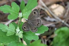 新治市民の森のコジャノメ(Butterfly, Niiharu Community Woods, Yokohama, Japan)