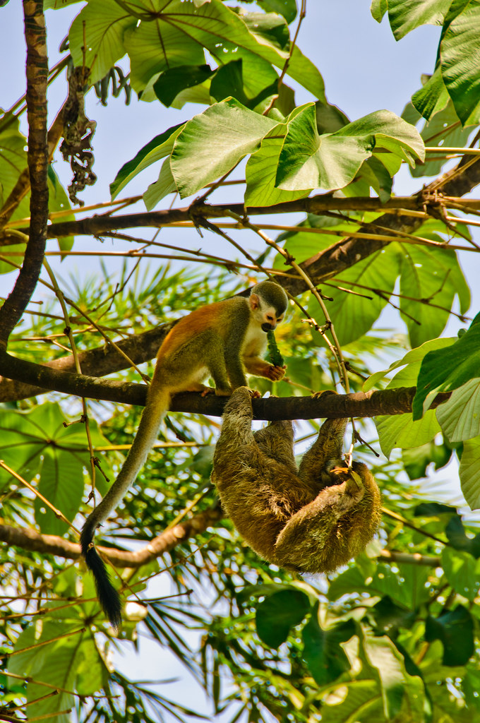 Squirrel monkey and sloth