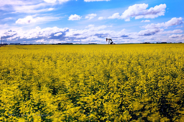 Canola And Pump Jack