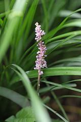 新治市民の森のヤブラン(Orchid, Niiharu Community Woods, Yokohama, Japan)
