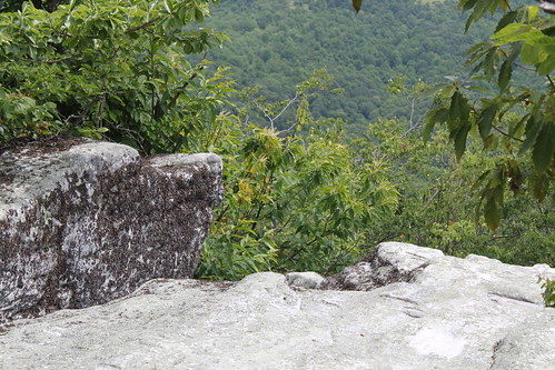McAfee's Knob - Blooming American Chestnut