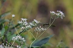 三保市民の森のヒヨドリバナ(Flower, Miho Community Woods)