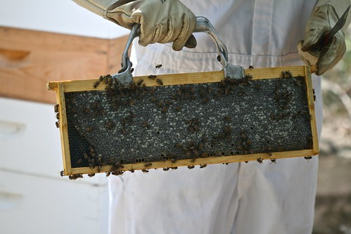 Capped Honey from Marge's Hive