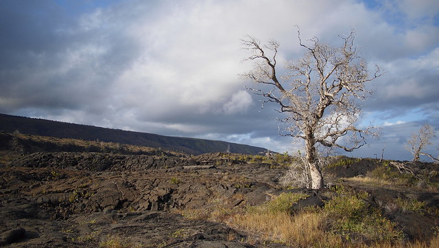 Scrappy Tree in Lava Field