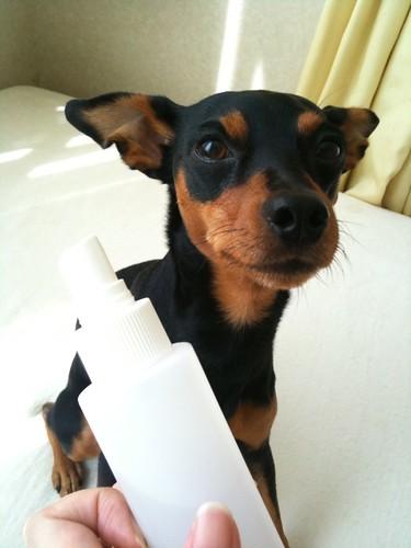 Resultado de imagen para 犬 mini pinscher ディナー