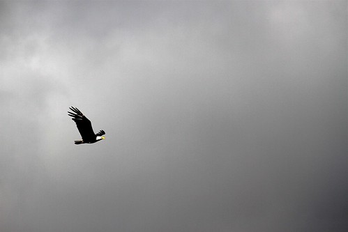 Bald eagle over Lake Sammamish