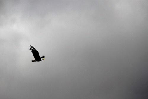 Bald eagle over Lake Sammamish