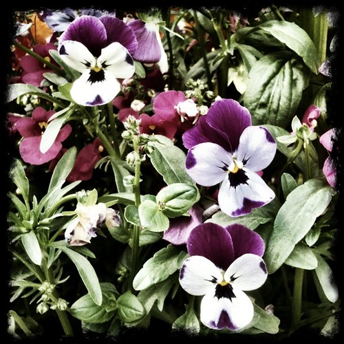 #purple and #white #pansies !! #LOVE !!