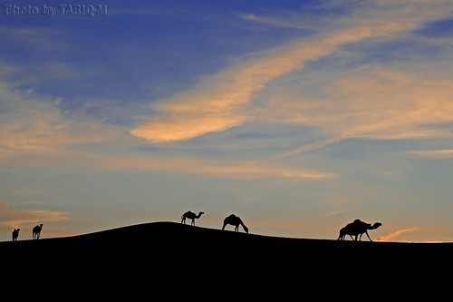 Silhouette Camels by TARIQ-M