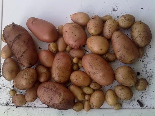 Colheita batatas julho 2011 by Gaiata