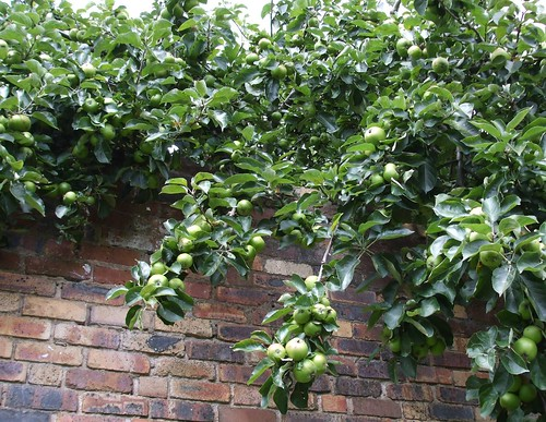 Next door's apple tree all ready for scrumping
