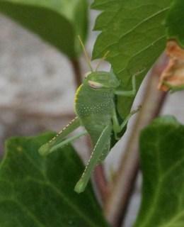 2011_07_11 PIC - Egyptian Grasshopper - nymph (Anacridium aegyptium) 02 by Mike at Sea
