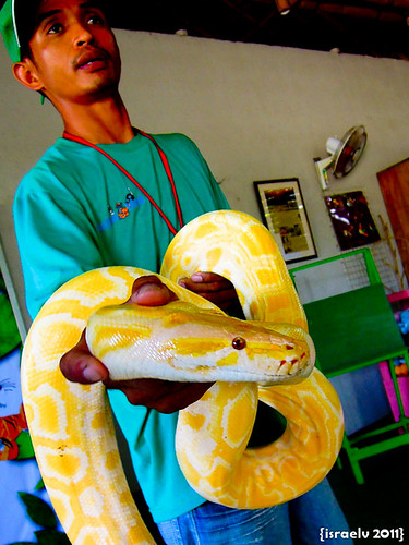 Yellow Python by israelv
