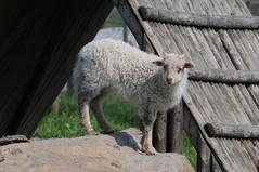 Zackelschaf Bärbel im Haustierpark Werdum