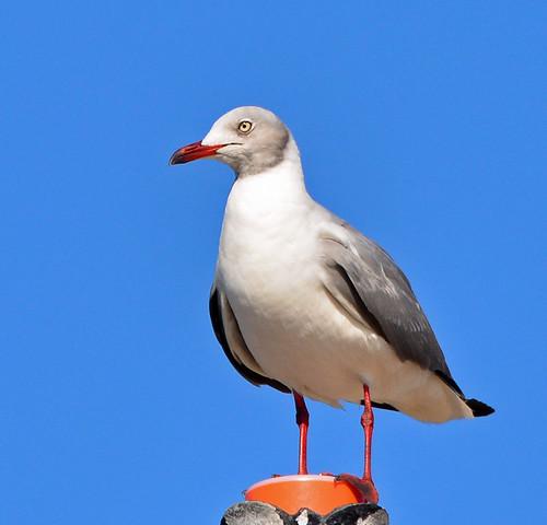 Coney Island: Gray-hooded Gull !