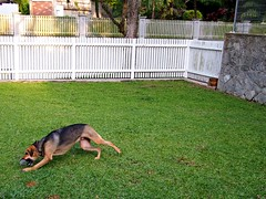 Dog Retrieving Ball