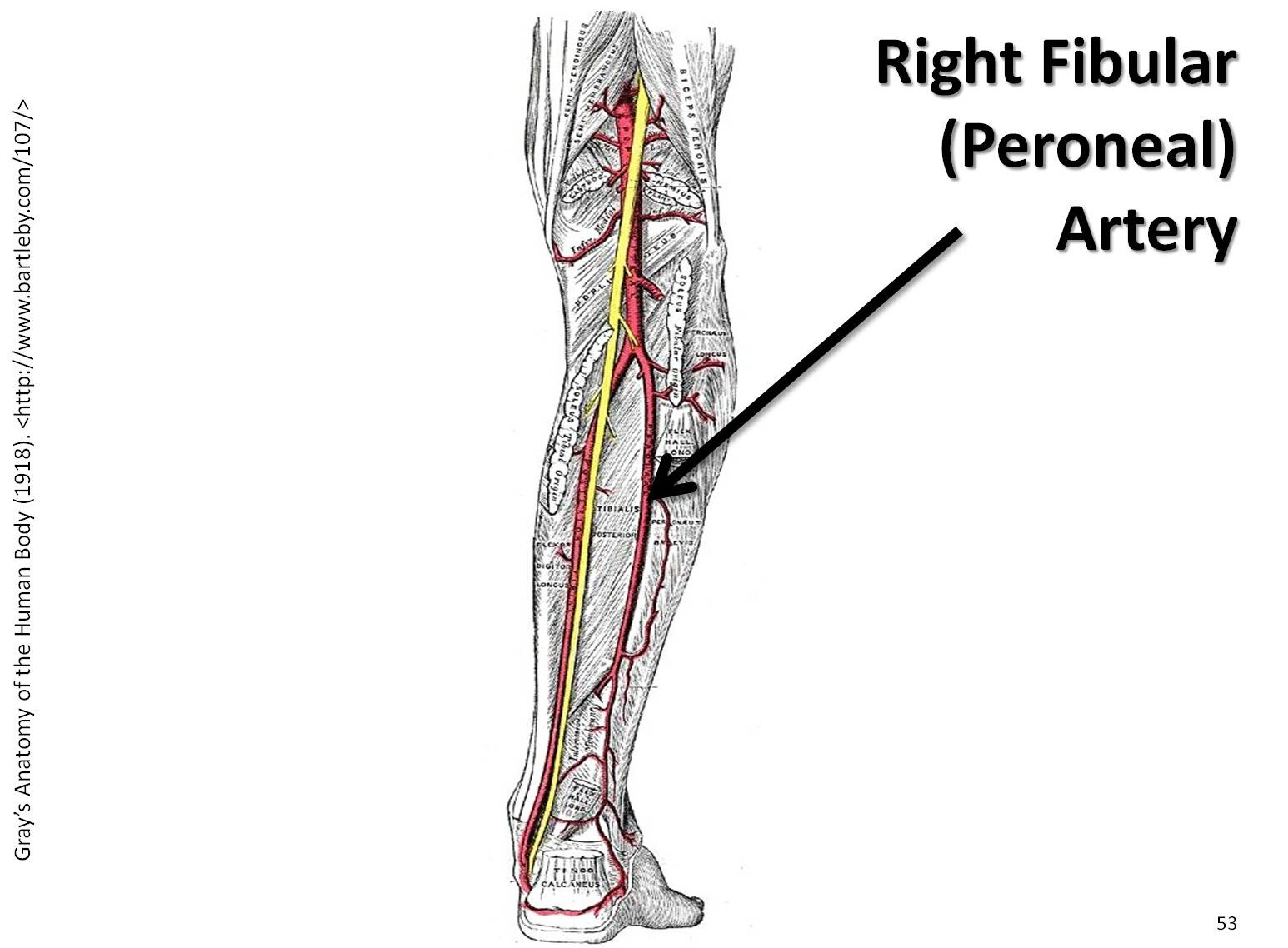Peroneal Trunk Artery Pictures To Pin