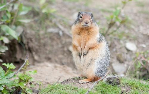BanffSquirrels-3