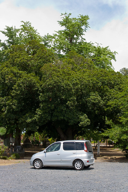 α7 Giant Evergreen Oak of Takao Shrine