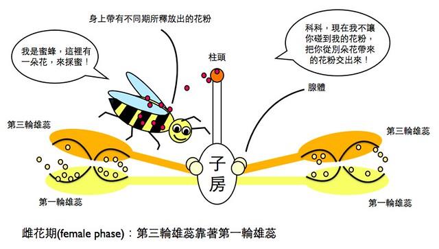 樟科雌花期示意圖