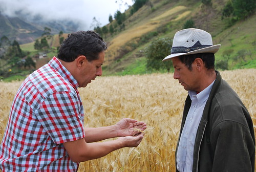 Discussing new wheat variety for Ecuador