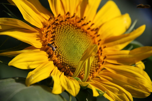 Morning sunflower by aimeesblog