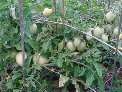 TomatoBeaverLodge
