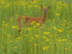 Roe deer with yellow flowers 3c