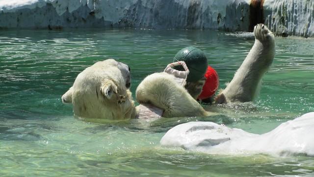 Polar Bear playing.