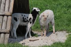 Jakobschaf und Zackelschaf im Haustierpark Werdum