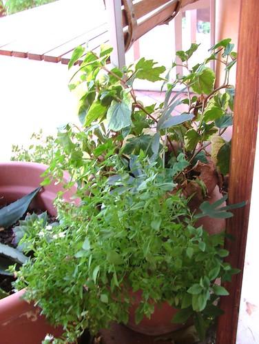 houttonya, passiflora, menta greca