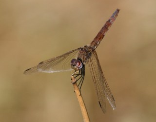 2011_07_04 PIC - Violet Dropwing - female (Trithemis annulata) 03 by Mike at Sea