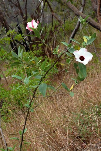 Hibiscus forsteri