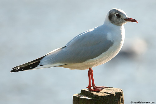 Black-headed Gull, adult, early head moult