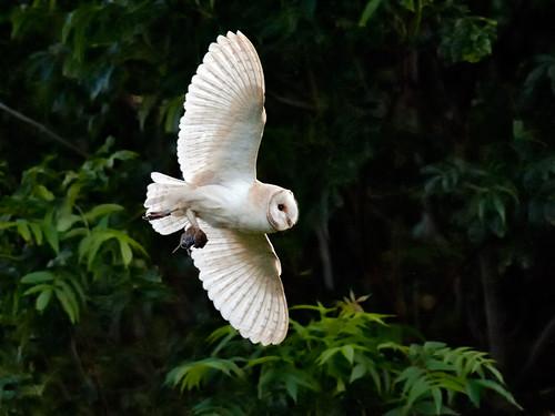 Barn Owl returns_1