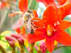 Apis mellifera - Honey Bee